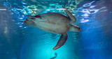 Green sea turtle swimming in the water