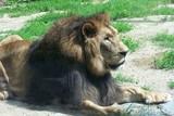 Fototapeta Sawanna - A resting lion  © E-lona
