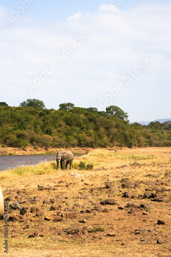 Fotobehang Wit Lonely elephant on shore of Mara River. Kenya, Africa