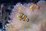 Fototapeta Do akwarium - An ocellaris clownfish, nemo © Hekkate
