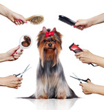 Front view of Yorkshire Terrier while grooming procedure - 196762630