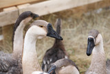 portraits of geese living on a farm - 196763484