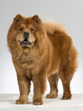 Chow Chow portrait in a studio. The dog is standing. - 196776625