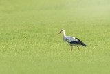 Stork bird Ciconia ciconia foraging in grass