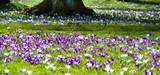 le printemps des crocus - 196782234