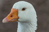 A beautiful white Goose captured closeup and in profile, with a bright orange beak, blue eyes and a bokeh background. - 196784425