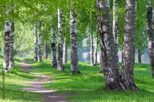 Fototapeta a path passing through a birch alley