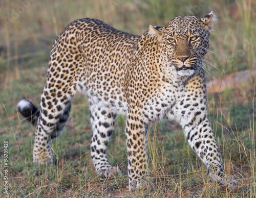 Wall mural African Leopard