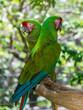 Playa Del Carmen, Mexico - May 17, 2017 -  Tropical Green Parrots