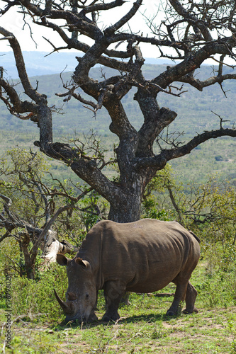Fotobehang Baobab A white rhinoceros or square-lipped rhinoceros (Ceratotherium simum) in Hluhluwe–iMfolozi Park, South Africa