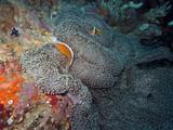 Oranger Weißrücken-Anemonenfisch auf Mertens Riesenanemone - 196807076