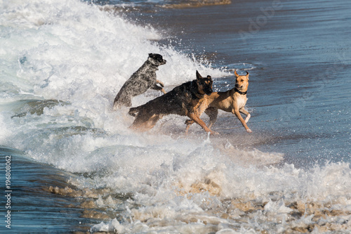 A group of three dogs running and jumping in the waves at Dog Beach at Ocean Beach in San Diego, California.