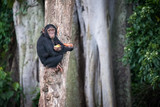Young chimpanzee sits on a tree after picking up food in the Ngamba Island Chimpanzee Sanctuary in Uganda