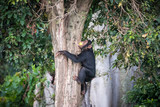 Young chimpanzee climbs on a tree after picking up food in the Ngamba Island Chimpanzee Sanctuary in Uganda