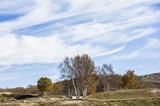 The golden silver birch on the grassland