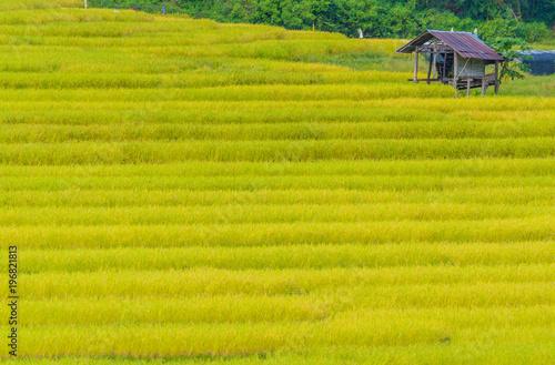 Fotobehang Rijstvelden golden rice field day time .