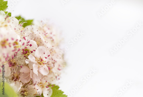Closeup view of hawthorn blossom on white background. Macro spring flower template. Floral mockup for greeting. Space for text.