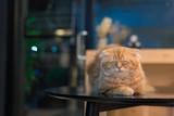 Orange scottish fold cat in selective focus.