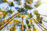 pine trees - 196839280