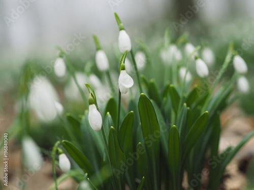 Fototapeta Early Spring Snowdrops flowers