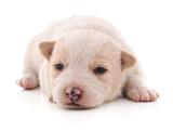 Little white puppy. - 196861451