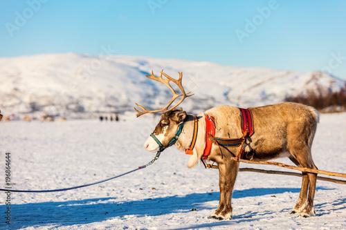 Foto op Canvas Pool Reindeer in Northern Norway