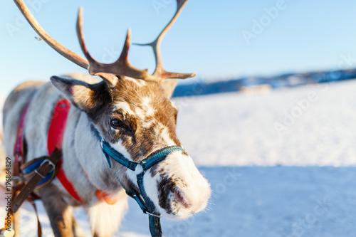 Aluminium Lichtblauw Reindeer in Northern Norway