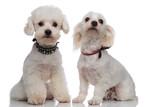 adorable proud bichon couple wearing cute collars