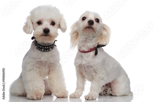 adorable proud bichon couple wearing cute collars