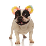 playful french bulldog with colored headband looks to side