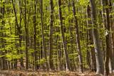 Beech forest - 196882429