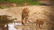 African lion Family