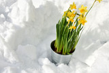 Easter lily in the snow