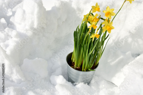 Fototapeta Easter lily in the snow