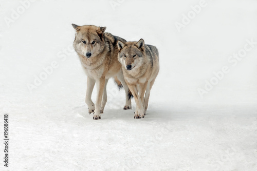 Fotobehang Wolf wolves male and female walking together, isolated background