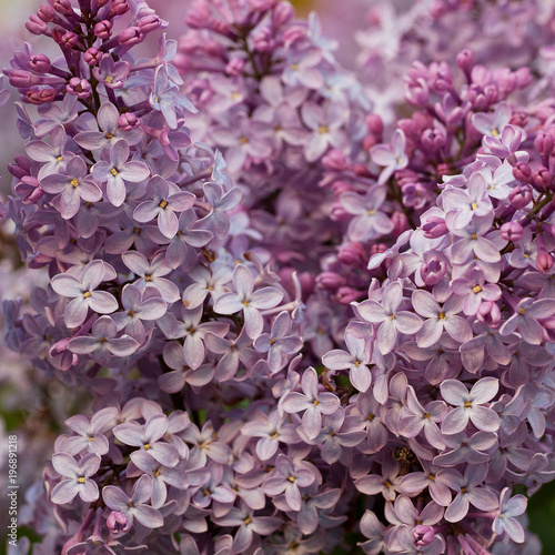 lush branch of lilac with foliage and flowers