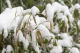 closeup of bamboo leaves covered by snow