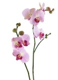 pretty orchid phalaenopsis isolated close up