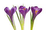 Crocus flowers isolated on white background - 196904895