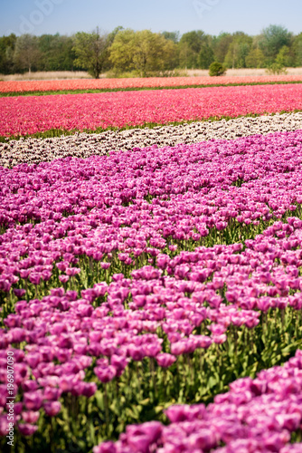 Aluminium Blossom tulip flowers on colorful countryside field in Holland