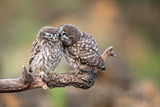 Two little owls (Athene noctua) sitting in pairs on a stick - 196909013