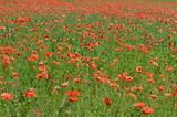 Pole czerwonych polnych maków w rozkwicie, Papaver rhoeas L