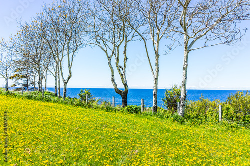 Leinwanddruck Bild Yellow dandelion flowers and view of Saint Lawrence river in La Martre in the Gaspe Peninsula, Quebec, Canada, Gaspesie region, nobody