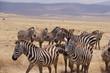 Zebra, Zebras Serengeti, Tanzania, Africa