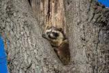 Raccoon in Hollow Tree - 196939601
