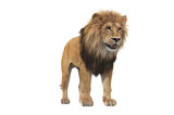 Lion animal beige massive carnivore. 3D rendering