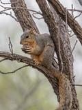 Young Fox Squirrel eating an acorn