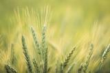 Green barley field Nature background  - 196954642