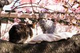 cat on the sakura tree. - 196955682