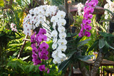 Beautiful orchids in the garden are blooming